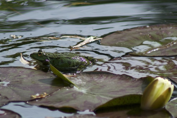 Lily pond resident